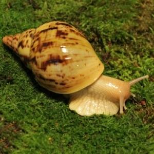 Achatina albopicta*